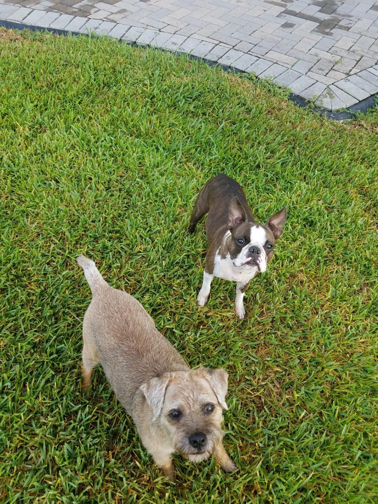 Image of two dogs, Bubba and Winston. Savanna Westwood - Owner at The Savvy Sitter in Winter Garden Florida