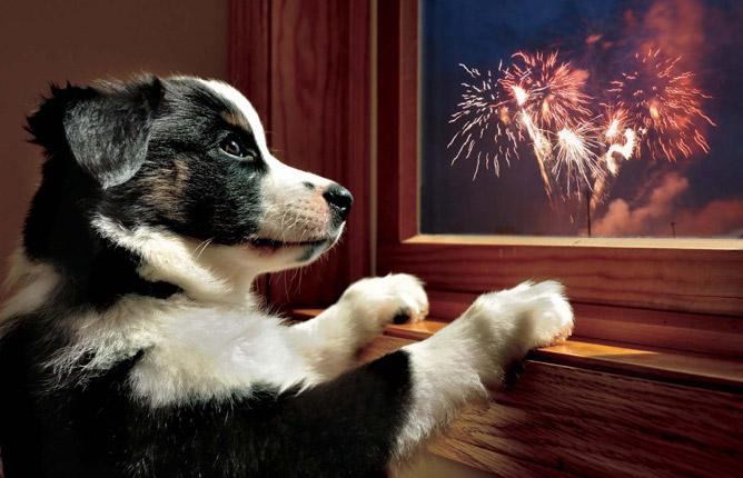 Image: dog watching fireworks through window.